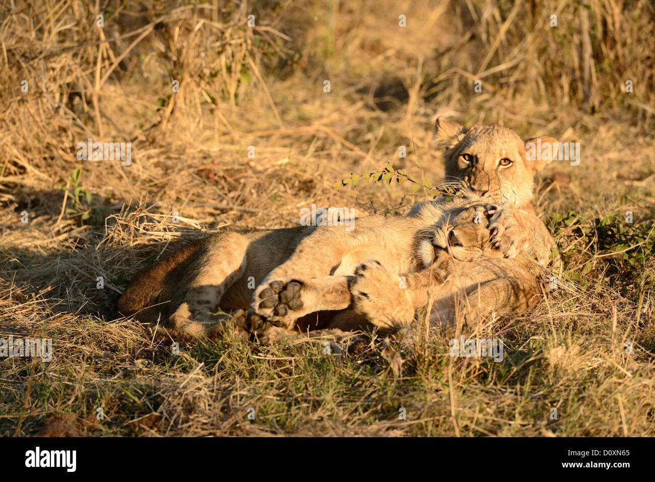 Africa Zimbabwe, leone, animale, giocare, Leo, della fauna selvatica, Safari Immagini Stock