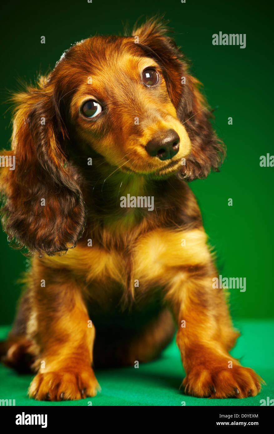 dachshund del cucciolo Immagini Stock