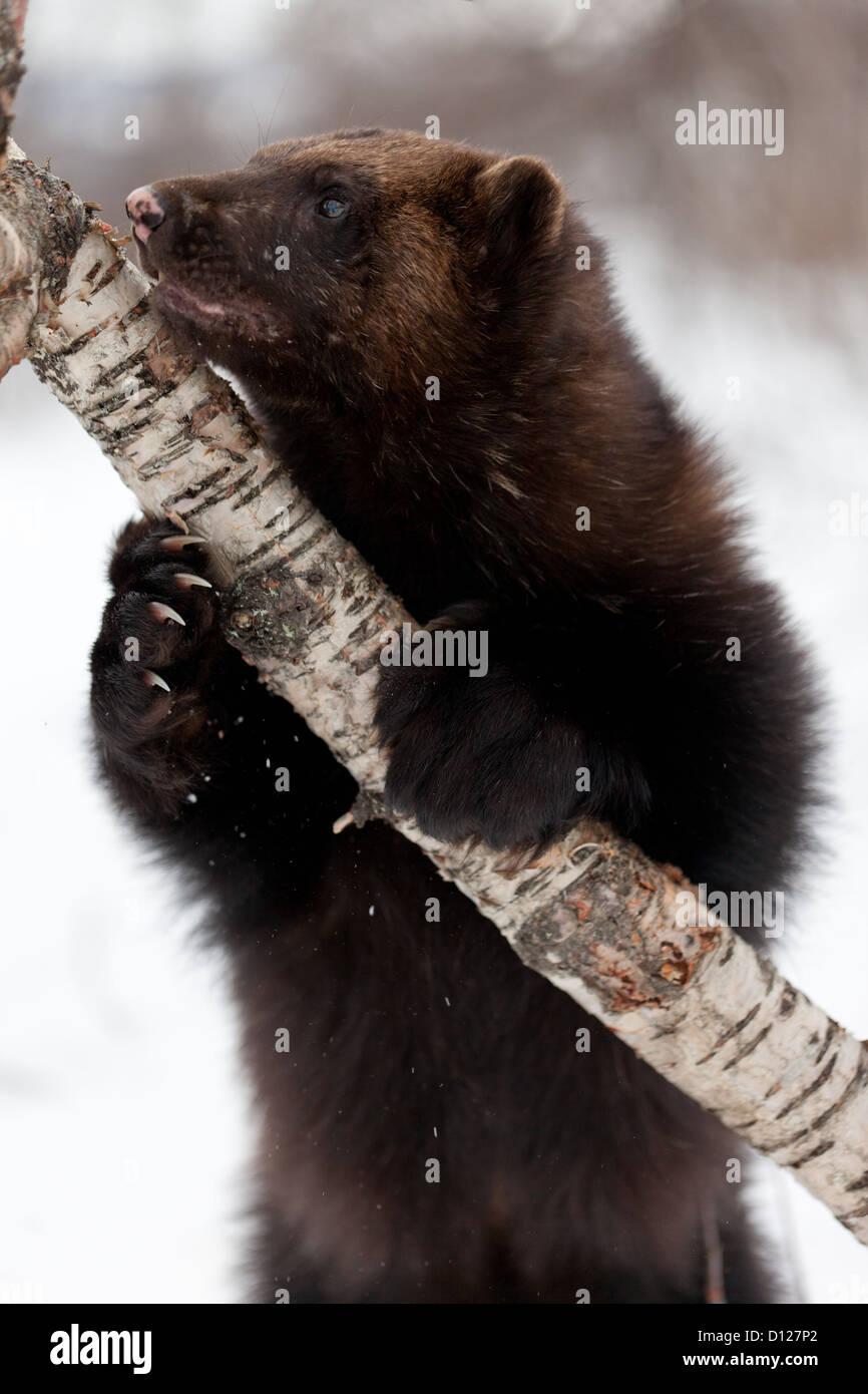 Wolverine nella neve Immagini Stock