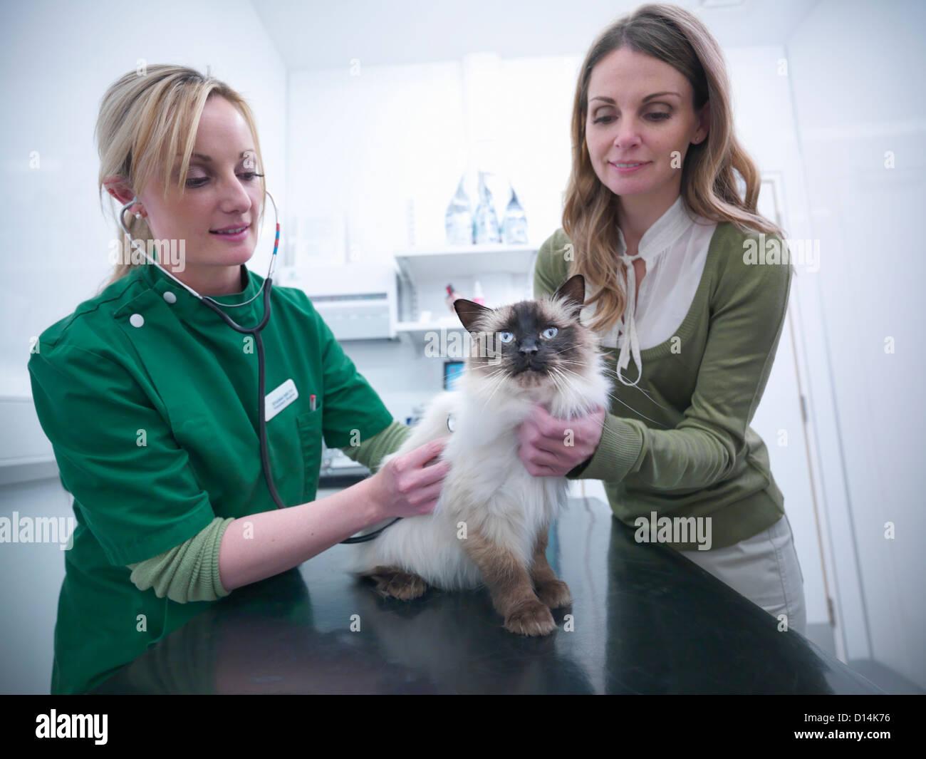 Infermiere veterinario esaminando cat Immagini Stock