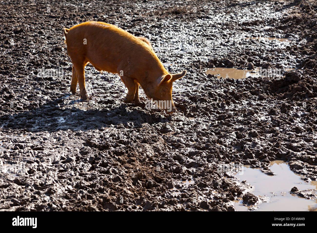Maiale nel fango, UK Immagini Stock