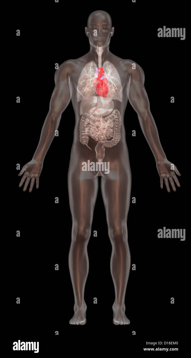 Computer illustrazione grafica, normale anatomia maschile Immagini Stock