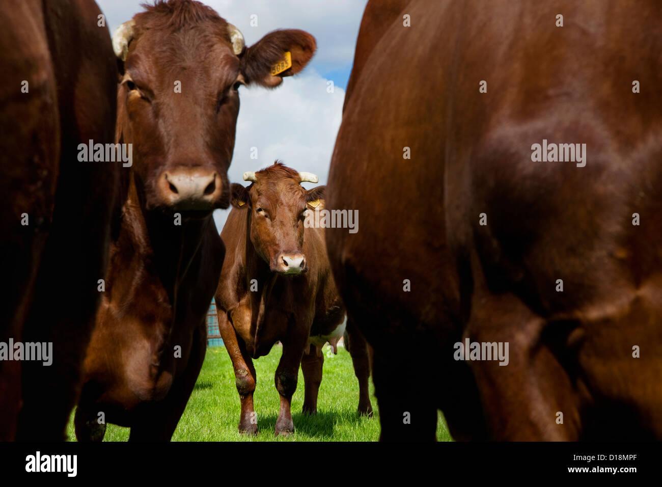 La Razza bovina rosso belga è una razza da West Flanders in Belgio Immagini Stock