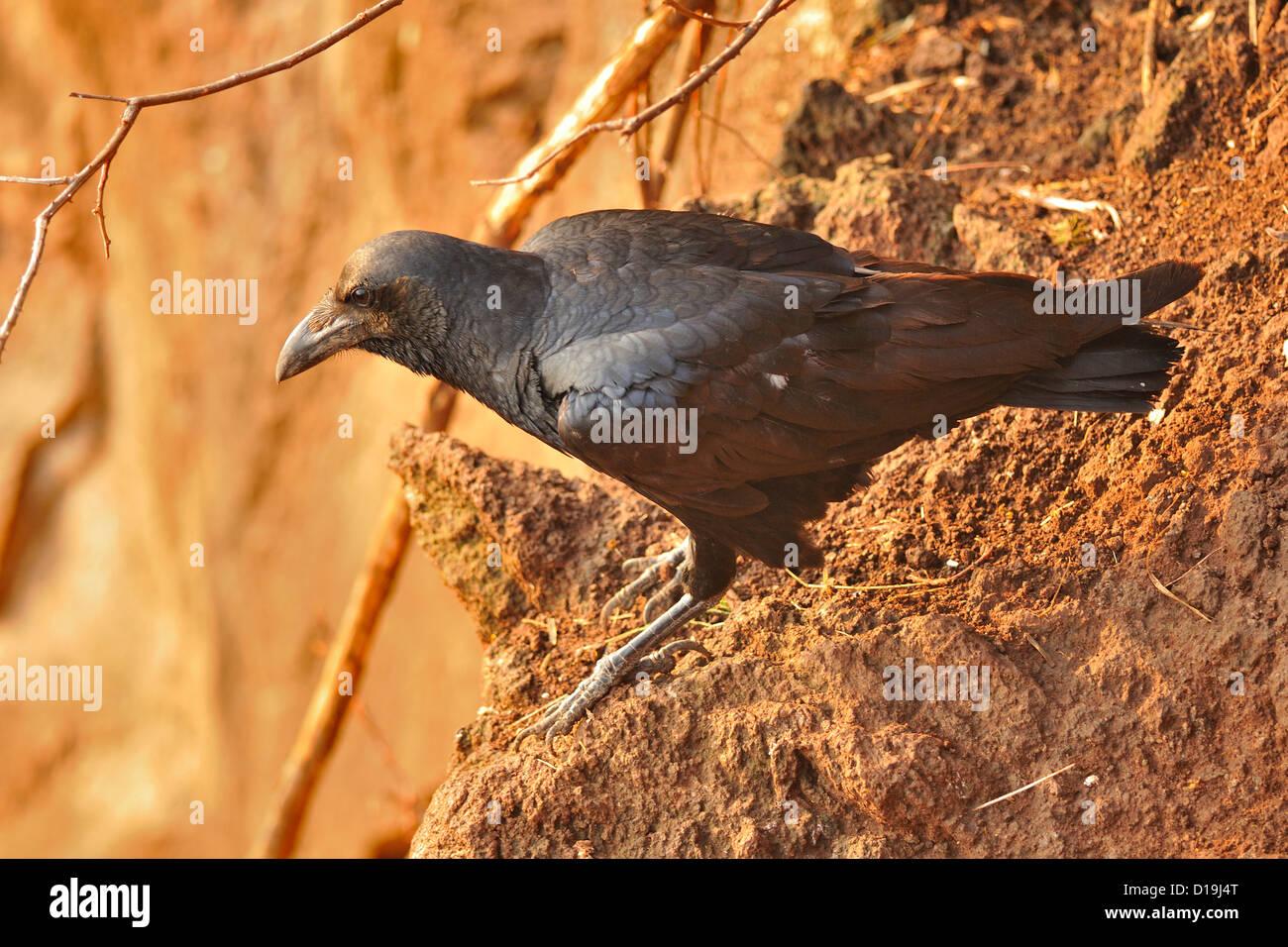 Fan-talied Corvo imperiale Corvus ripidurus, Corvidae, Nechisar National Park, Arna Minch, Etiopia, Africa Immagini Stock