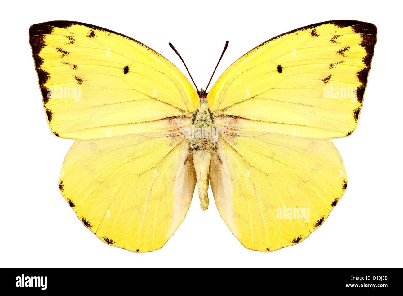 Specie di farfalle Catopsilia pomona pomona limone emigrante' Immagini Stock