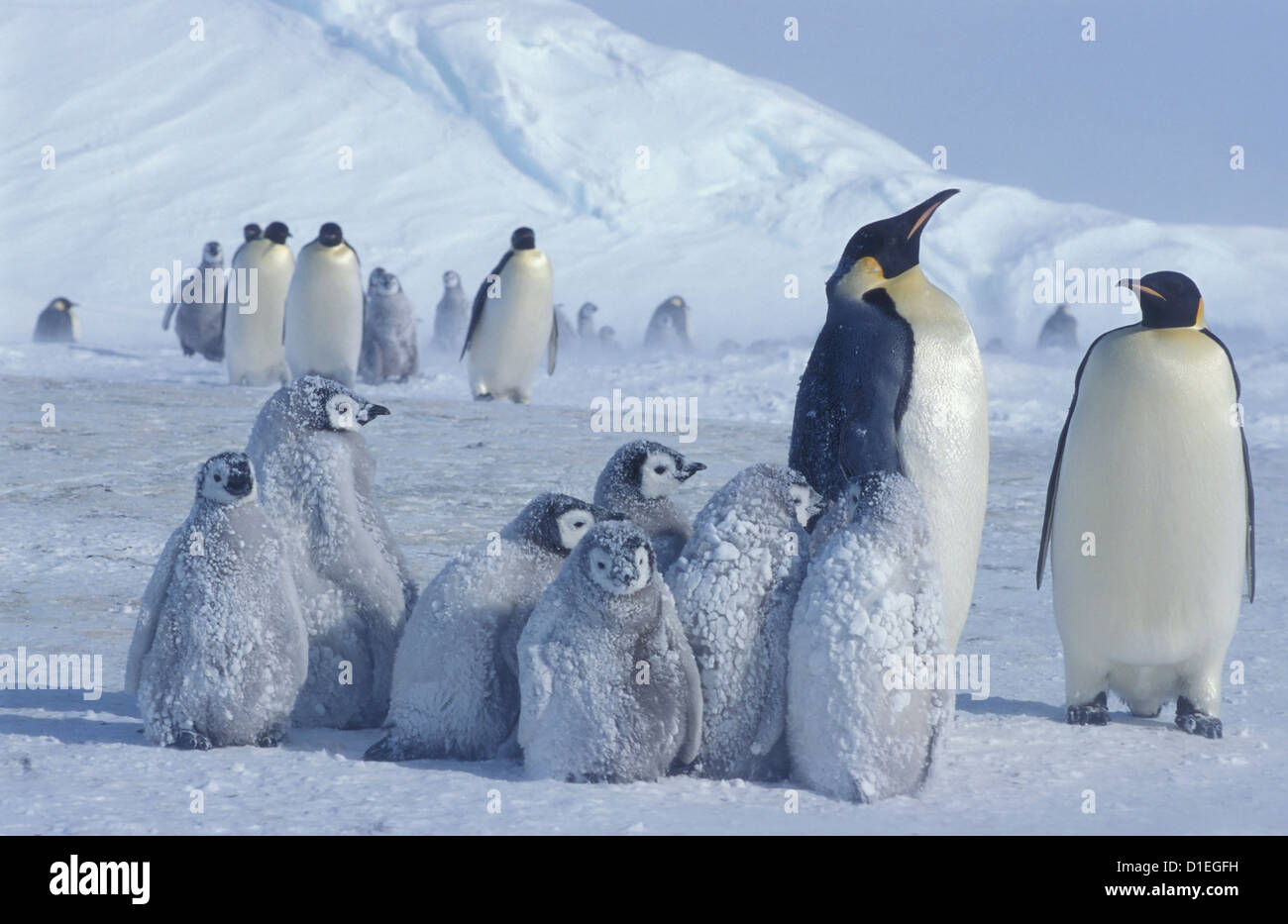 Pinguini imperatore (Aptenodytes forsteri), ghiacciaio Dawson-Lambton, Antartide Immagini Stock