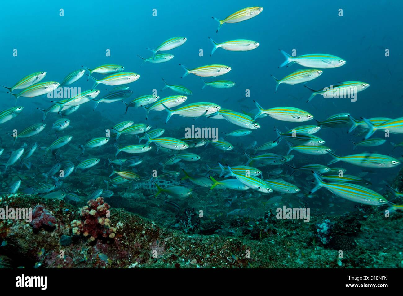 Scuola di variable-rigato fusiliers (Caesio varilineata), Mirbat, Oman, Oceano Indiano, ripresa subacquea Immagini Stock