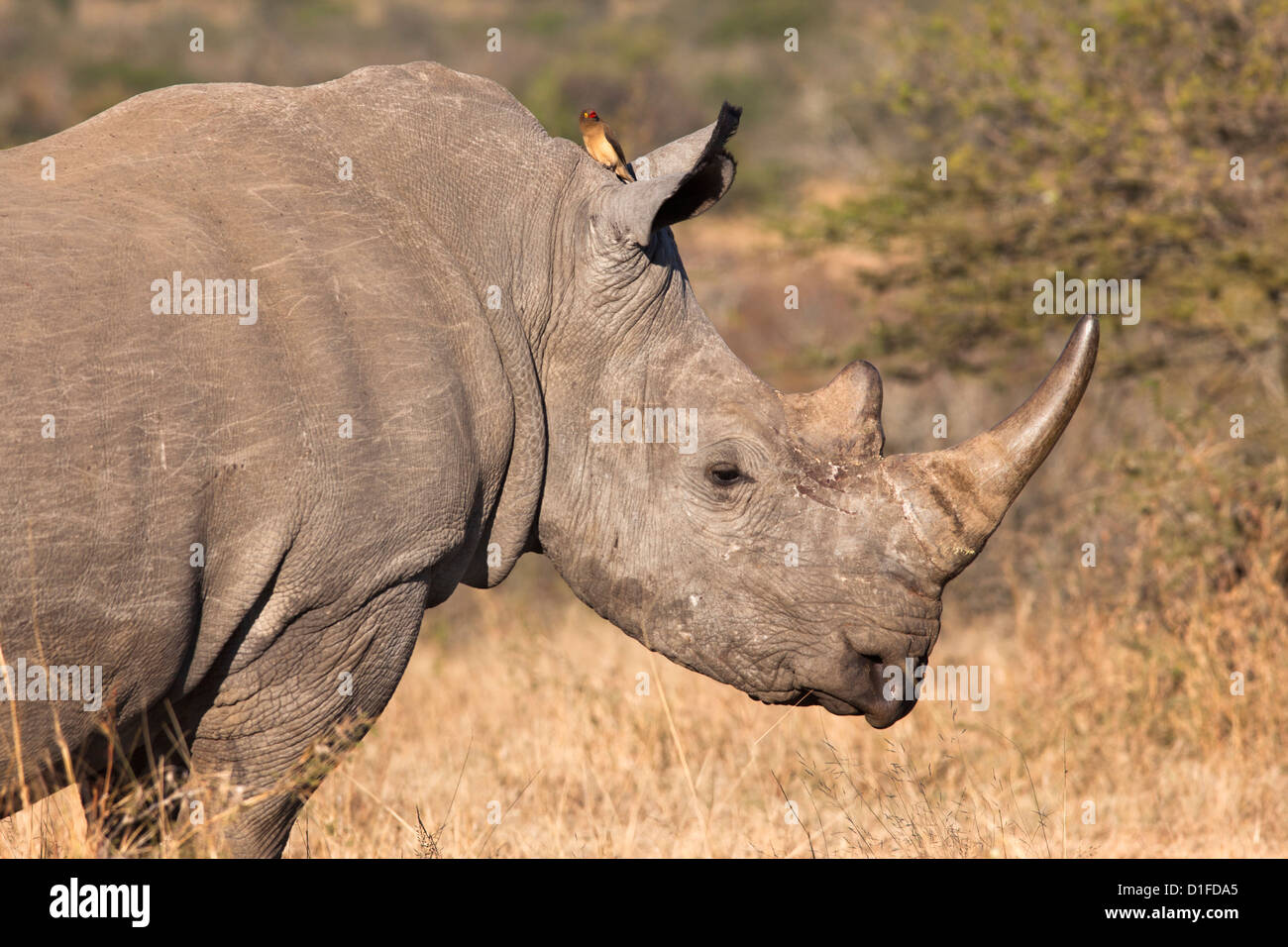 White Rhino (Ceratotherium simum), Imfolozi Game Reserve, KwaZulu-Natal, Sud Africa e Africa Immagini Stock