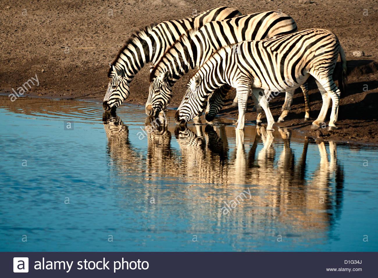 Il trio di comune zebre (Equus burchelli) in corrispondenza di un foro per l'acqua, il Parco Nazionale di Etosha, Immagini Stock