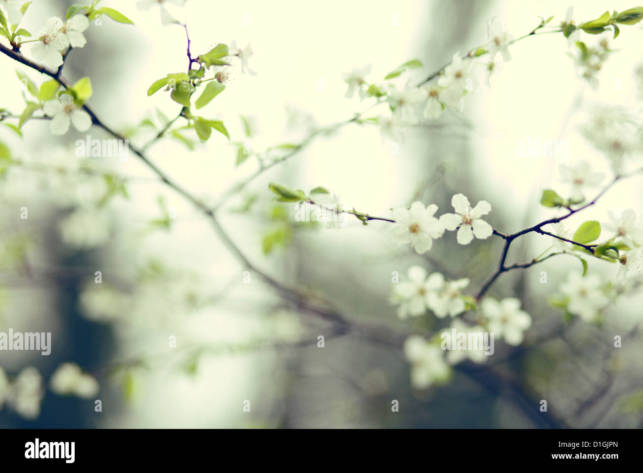 Una chiusura della fioritura dei ciliegi in fiore in primavera Immagini Stock