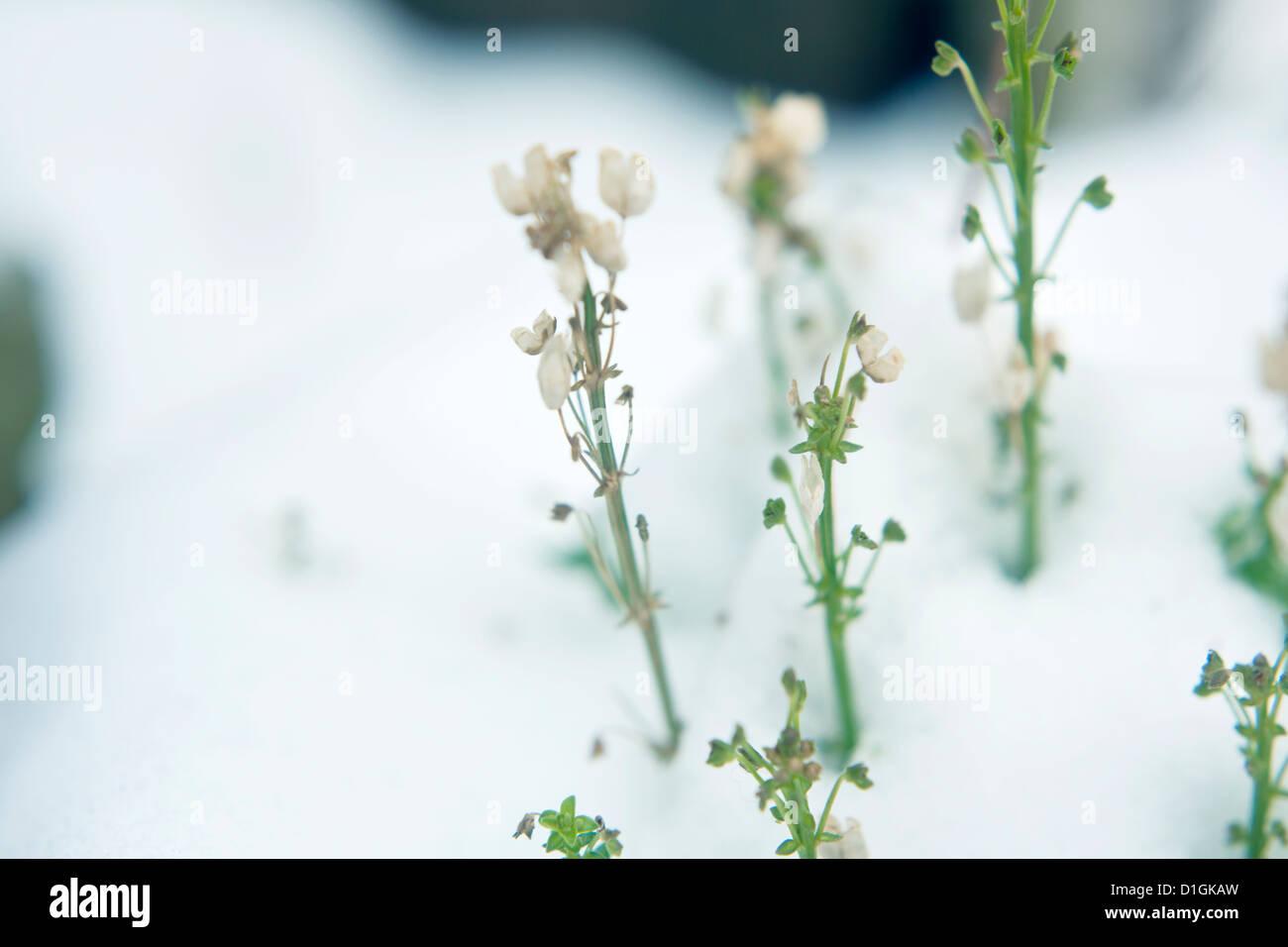Poco verde bianco e piante che crescono attraverso la neve profonda Immagini Stock