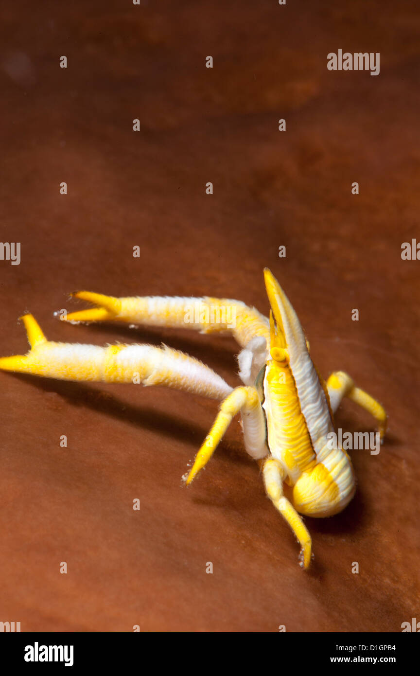Elegante aragosta squat (Allogalathea elegans), a Sulawesi, Indonesia, Asia sud-orientale, Asia Immagini Stock