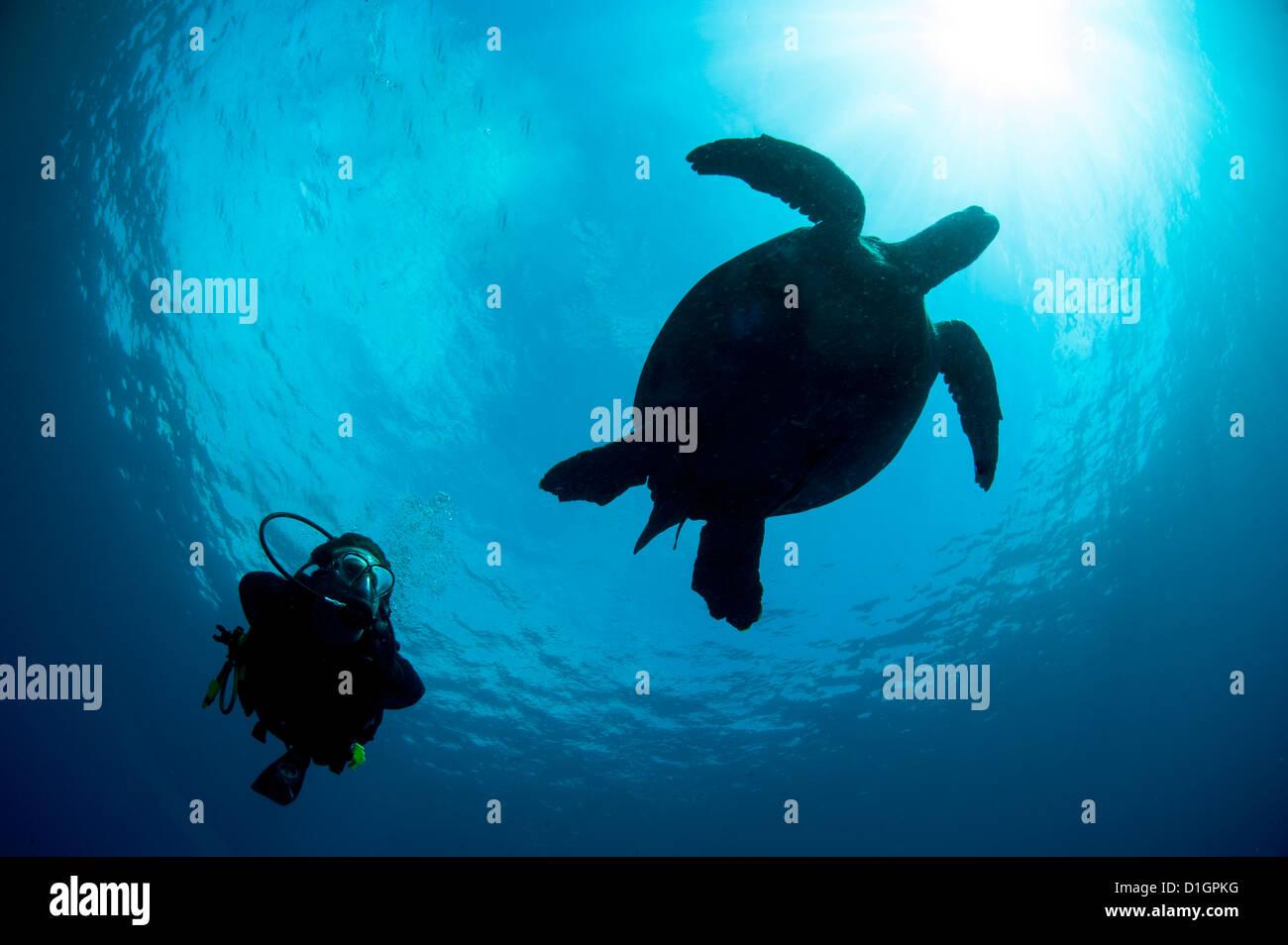 Tartaruga embricata (Eretmochelys imbricata) e subacqueo, Sulawesi, Indonesia, Asia sud-orientale, Asia Immagini Stock