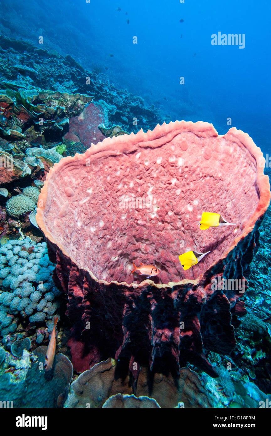 Vaso azzurro spugna e grande naso butterflyfish (Forcipiger flavissimus), a Sulawesi, Indonesia, Asia sud-orientale, Immagini Stock
