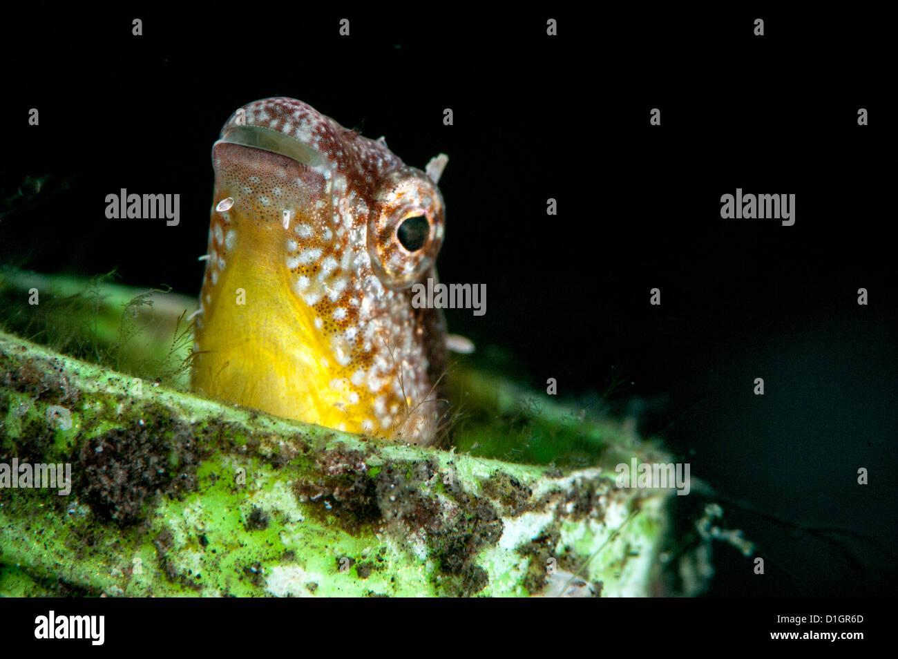 Variabile (fangblenny Petroscirtes variablilis), a Sulawesi, Indonesia, Asia sud-orientale, Asia Immagini Stock