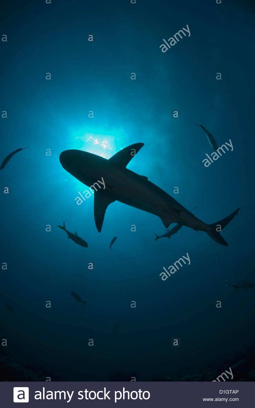 Caribbean reef shark (Carcharhinus perezii) nuoto come silhouette con il sole visto dal di sotto, Roatan, isole Immagini Stock