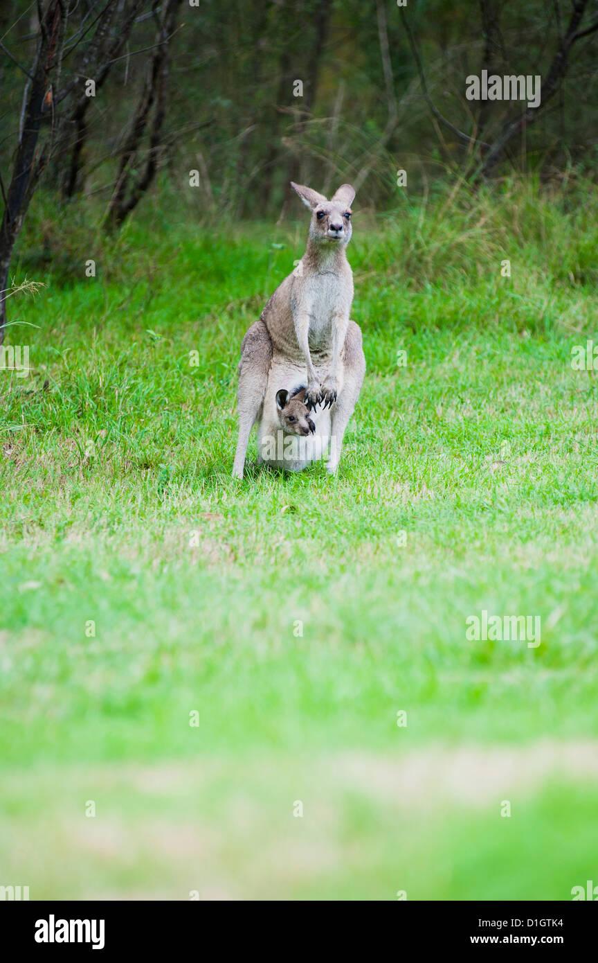 Orientale canguro grigio madre con un bambino joey nella sua sacca nelle Blue Mountains Area, Nuovo Galles del Sud, Immagini Stock
