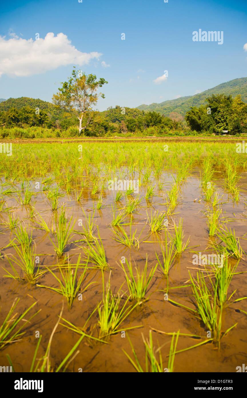 La risaia paesaggio di campo nelle montagne che circondano Chiang Rai, Thailandia, Sud-est asiatico, in Asia Immagini Stock