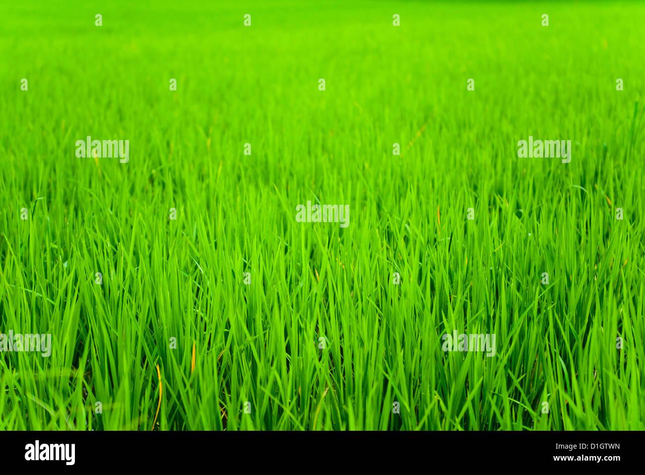 La risaia vicino campo fino in Ubud, Bali, Indonesia, Asia sud-orientale, Asia Immagini Stock