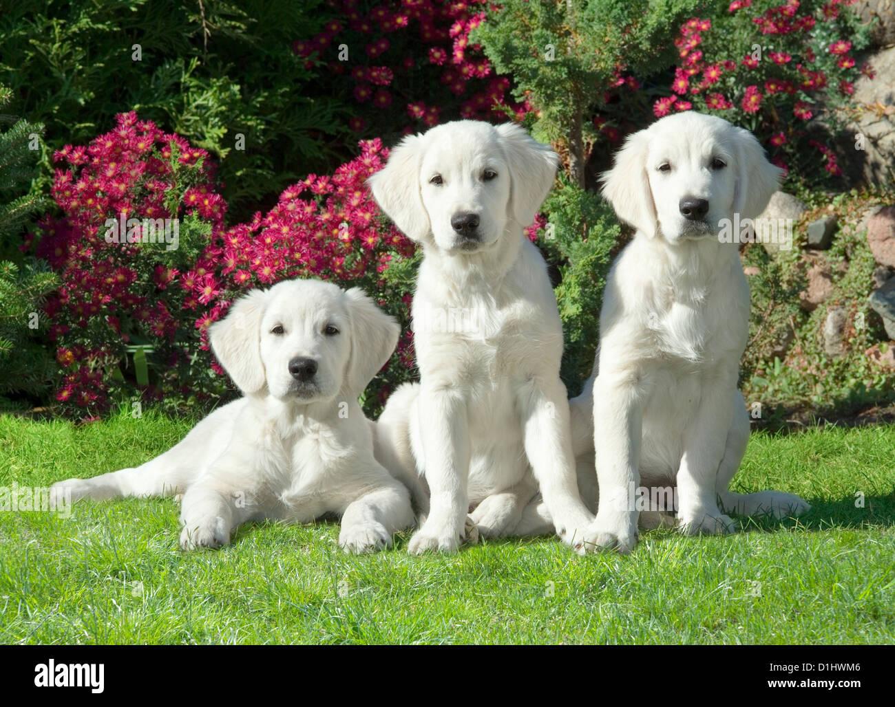 Tre Golden Retriever cani in giardino Immagini Stock