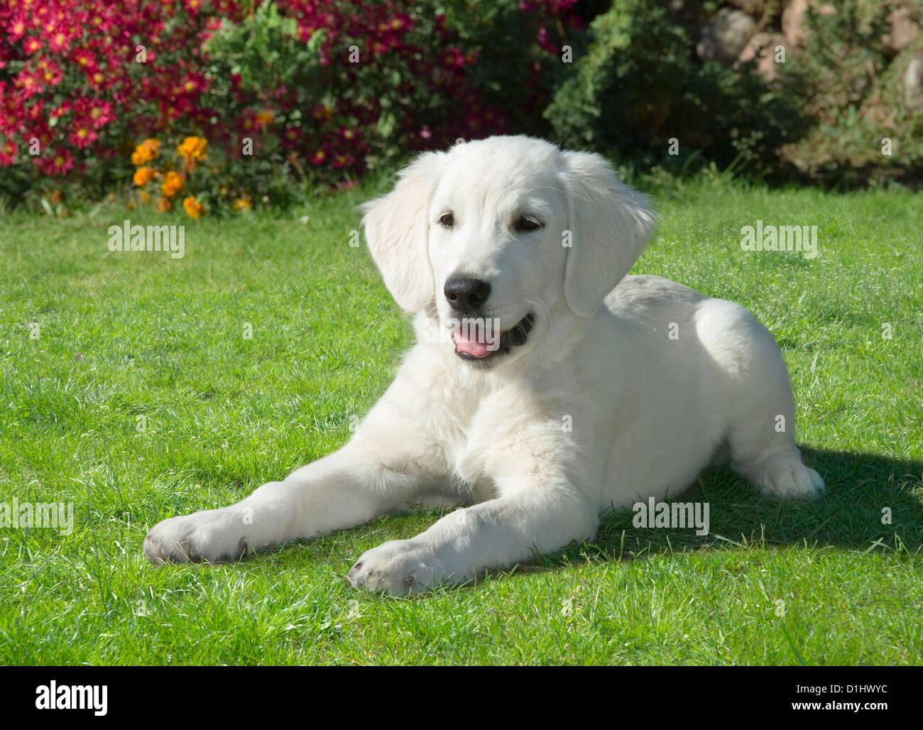 Il Golden Retriever cane in giardino Immagini Stock