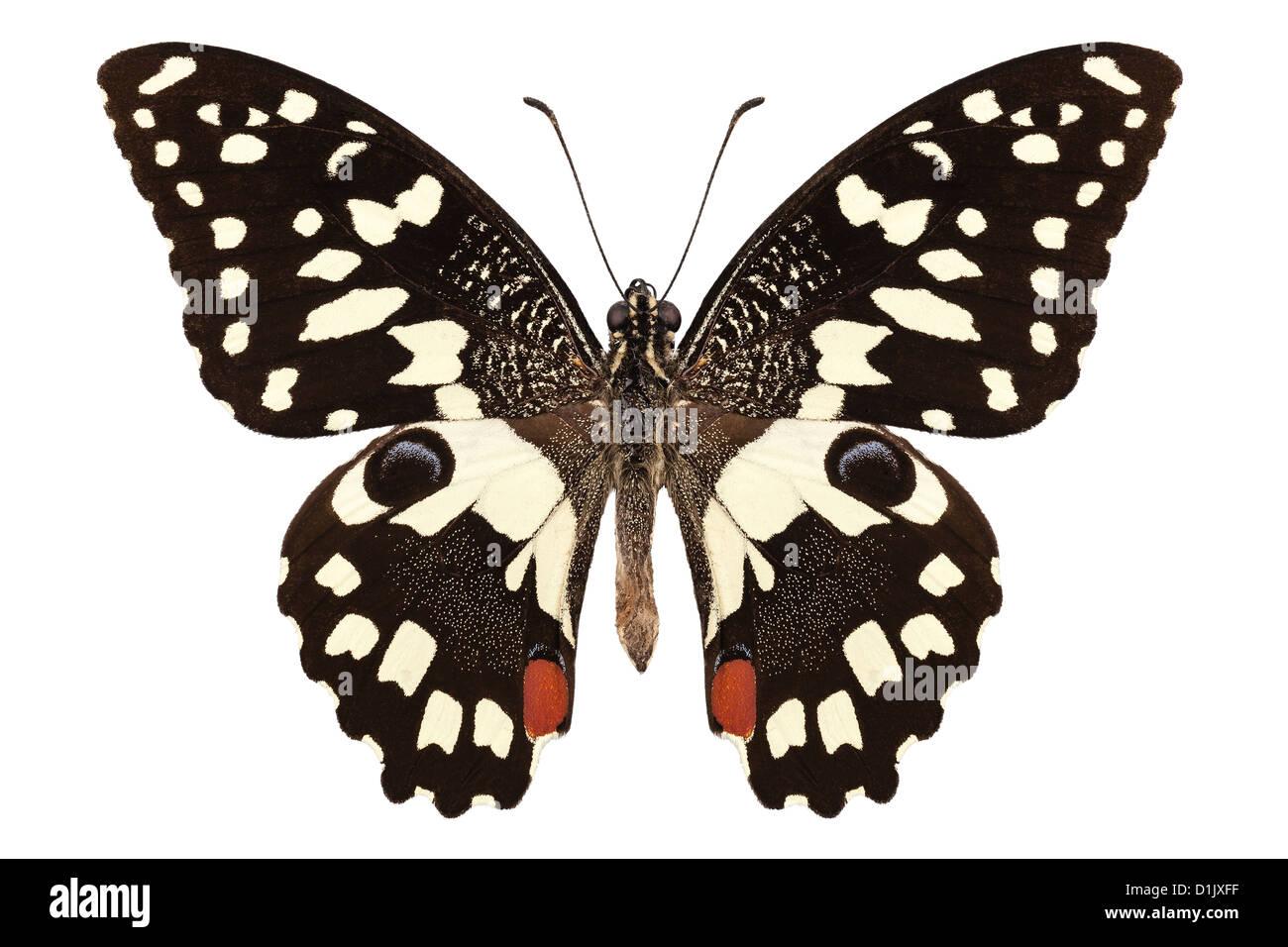 Specie di farfalla Papilio demoleus ' Limone Farfalla' Immagini Stock
