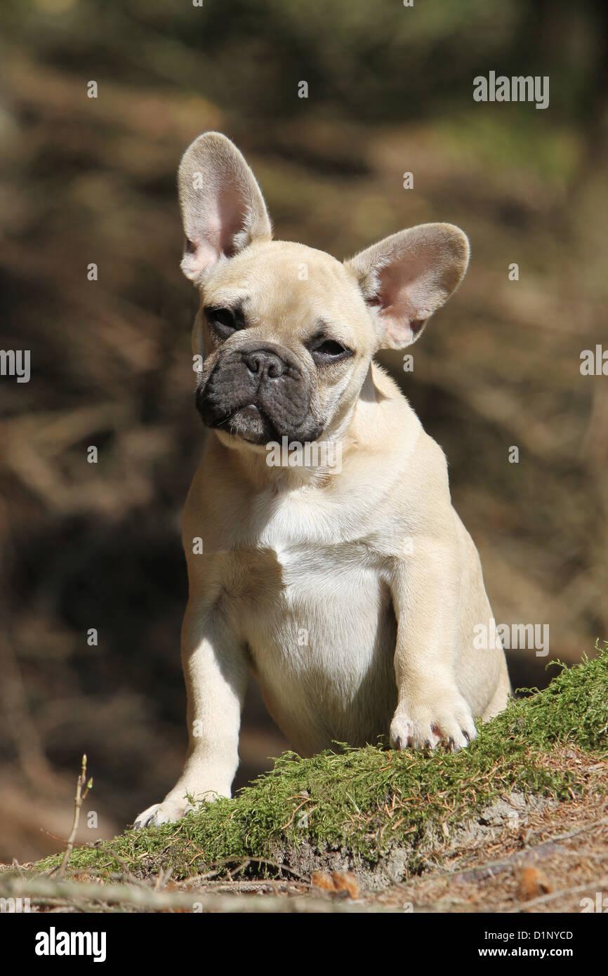 French Bulldog In The Wood Immagini French Bulldog In The Wood
