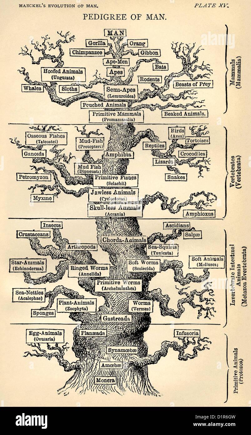 """Ernst Haeckel """"albero della vita"""", disegnato nel 1874. Questa è la versione in lingua inglese pubblicata Immagini Stock"""