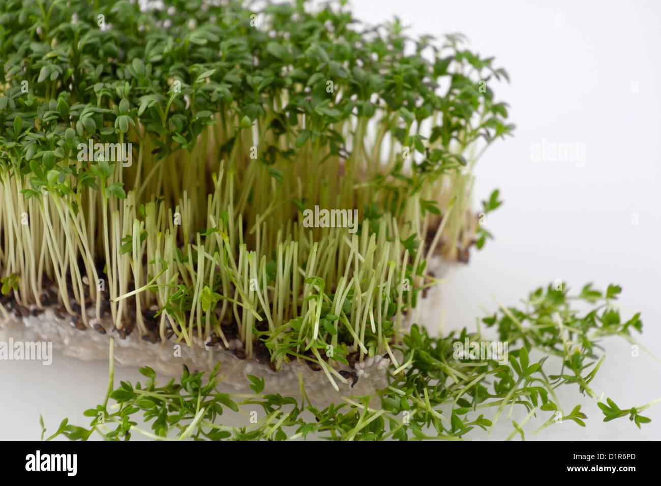 Il crescione fresco parzialmente tagliata con i germogli di fronte Immagini Stock
