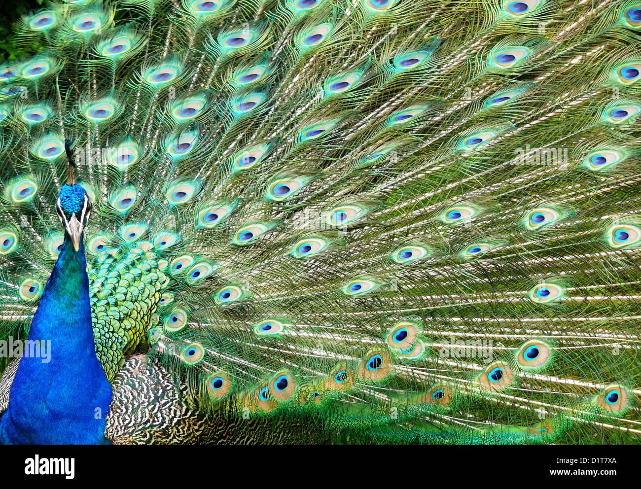 Peacock feather display Immagini Stock