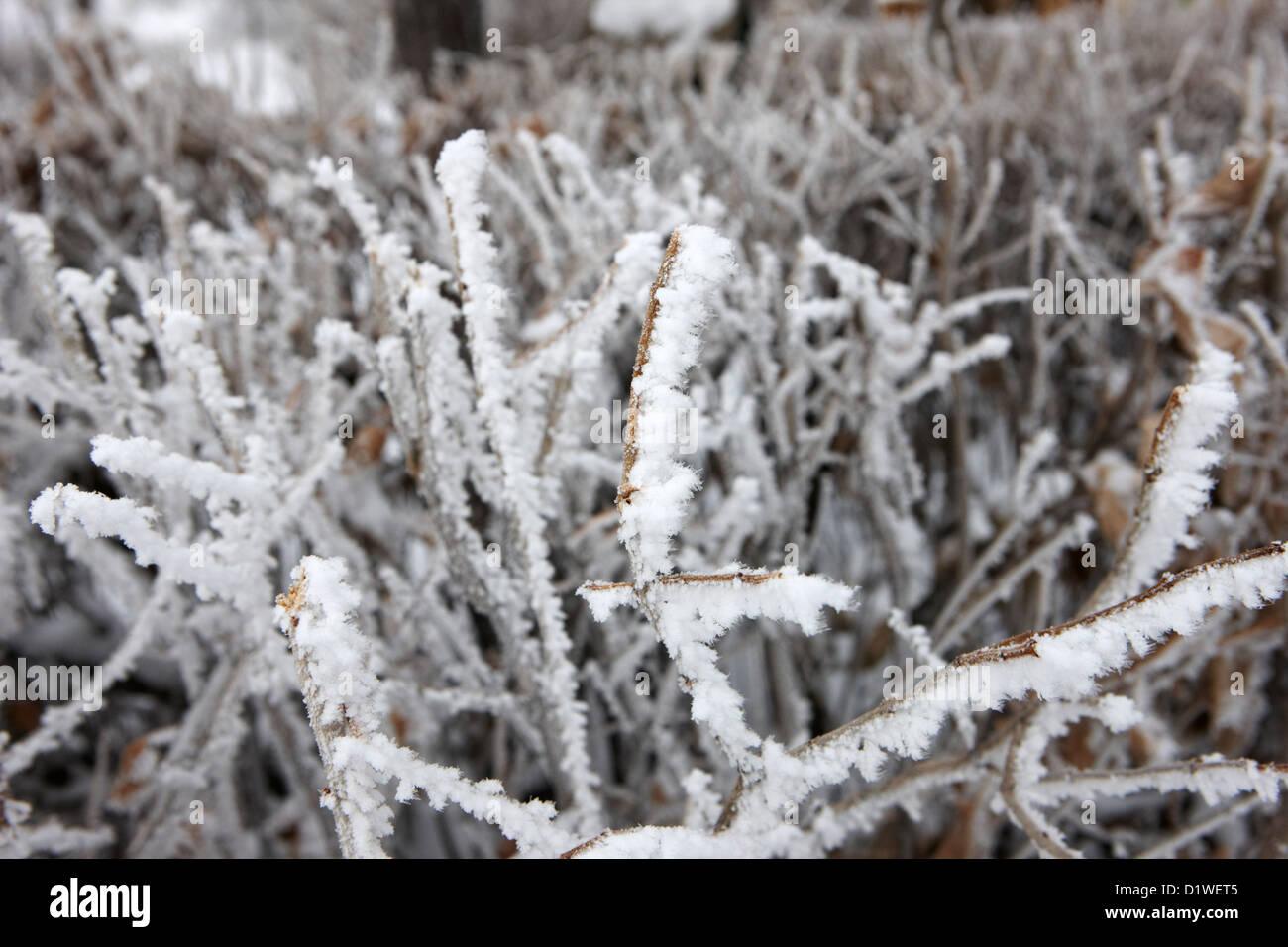 Trasformata per forte gradiente brina sulla siepe giardino durante il periodo invernale dimenticare Saskatchewan Canada Foto Stock