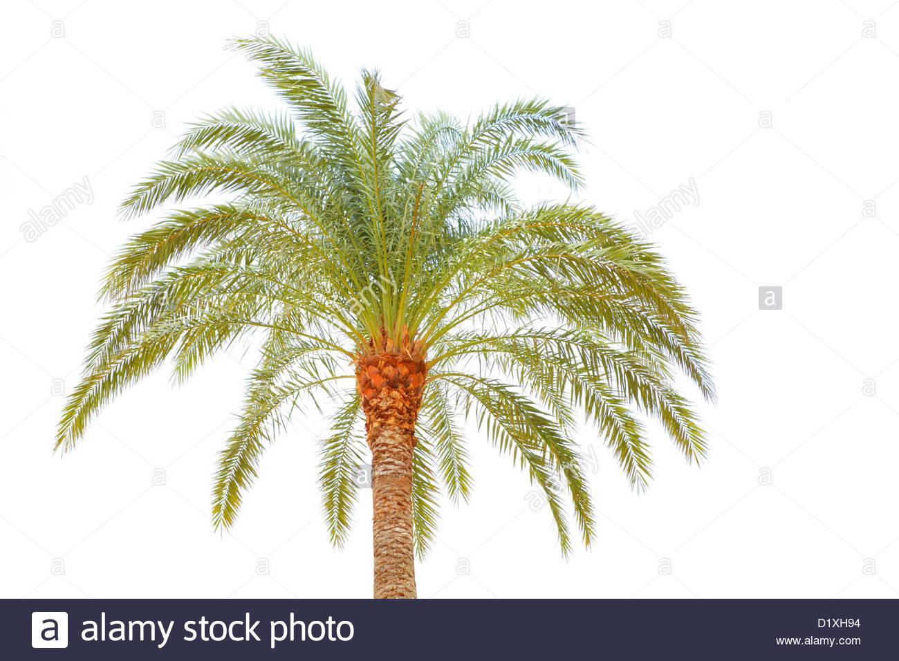 Albero di Palma Immagini Stock