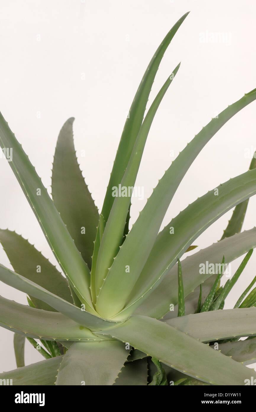 Aloe vera pot con piante succulente carnose foglie di piante ornamentali e medicinali Immagini Stock