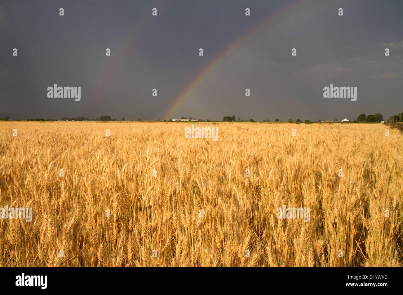Golden campo di grano con arcobaleno nel cielo, Payette County, Idaho, Stati Uniti d'America. Immagini Stock