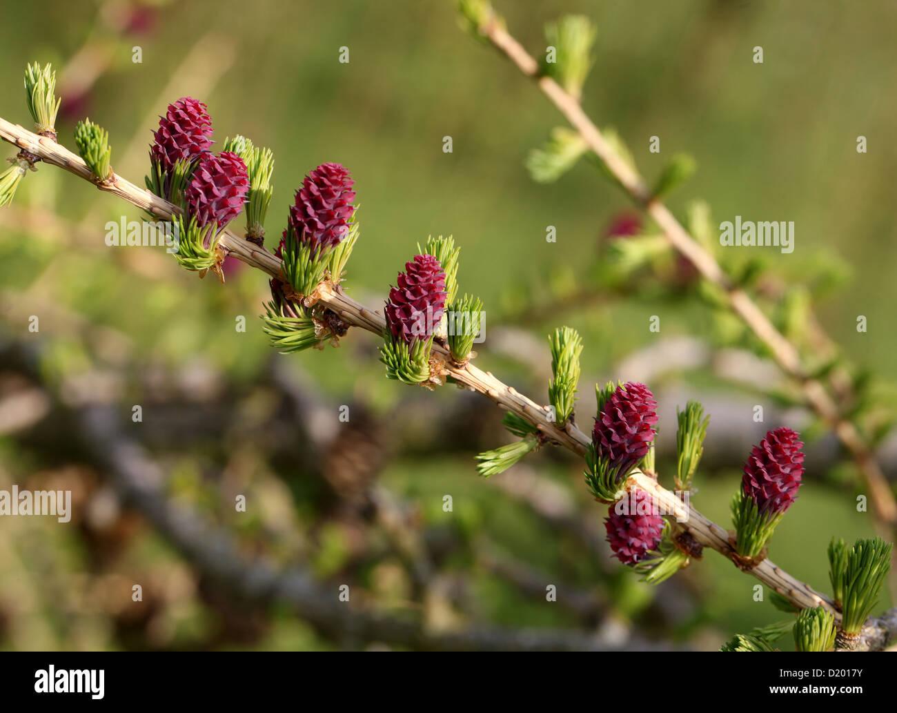 Larice europeo, Larix decidua, Pinaceae. L'Europa. Foto Stock