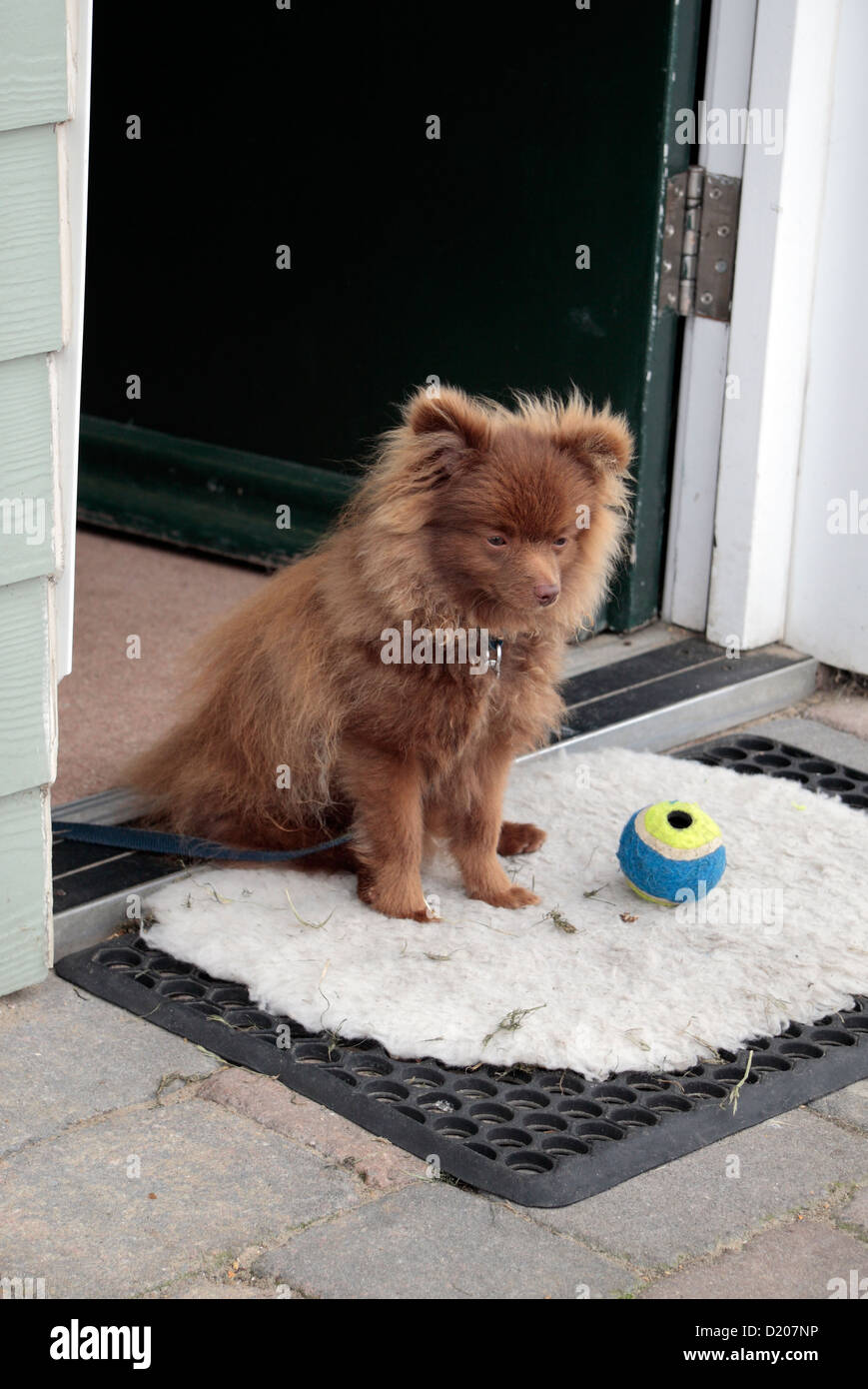 Un Simpatico Cane Di Pomerania Seduta Al Di Fuori Di Una Porta