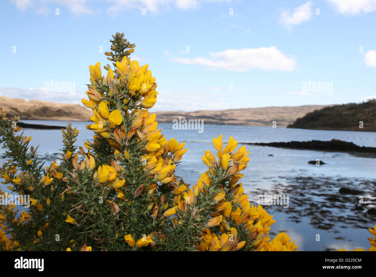 Fiori Gialli Scozia.Fiori Gialli In Scozia Foto Immagine Stock 52904676 Alamy