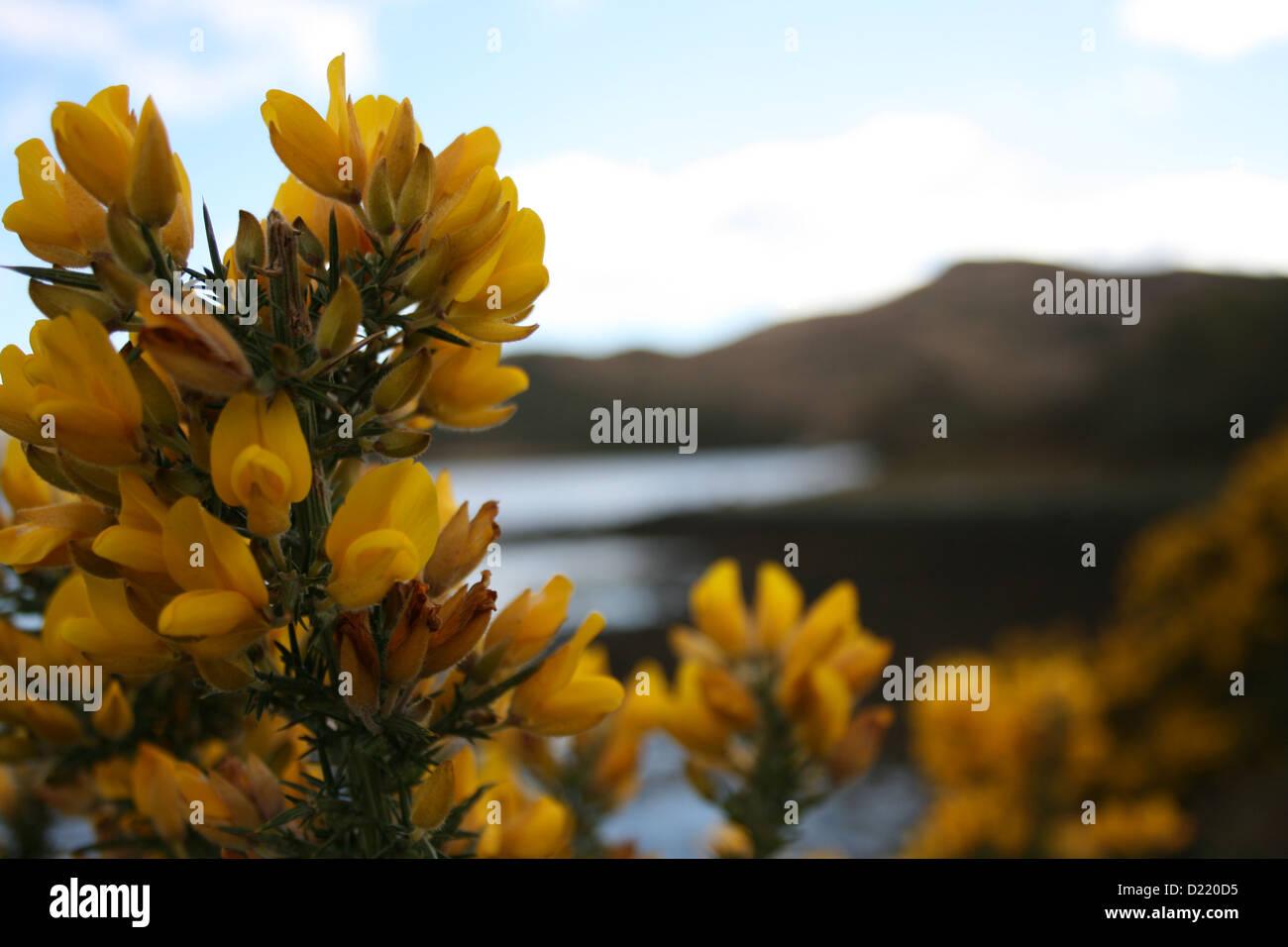 Fiori Gialli Scozia.Fiori Gialli In Scozia Foto Immagine Stock 52904689 Alamy