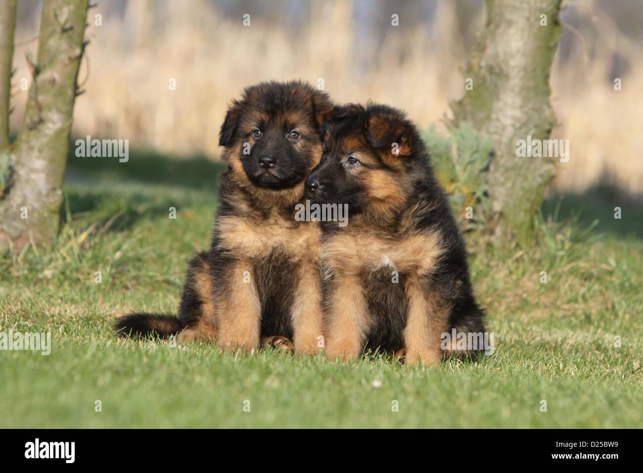 Cane Pastore Tedesco Cane Deutscher Schäferhund Due Cuccioli