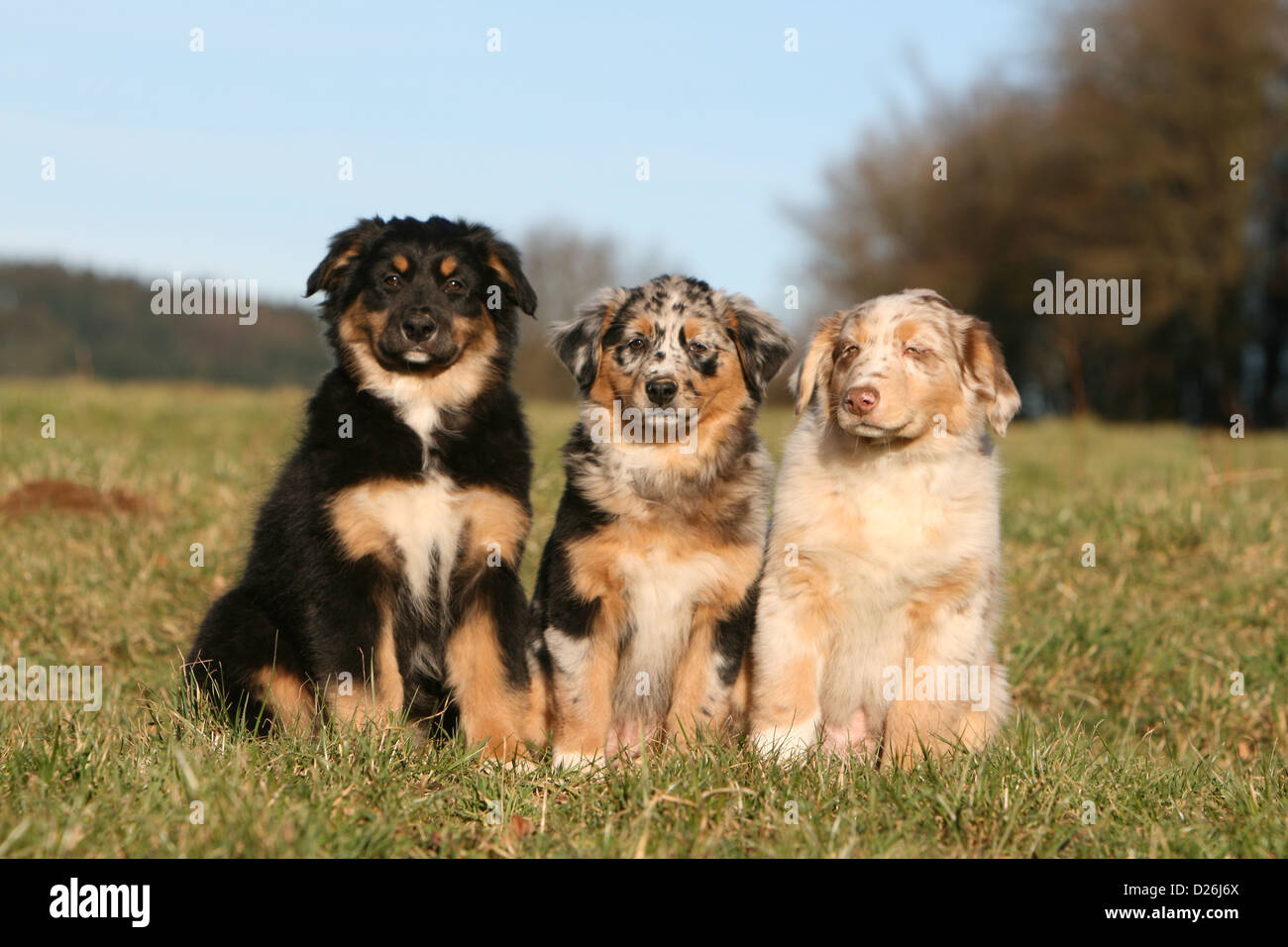 Cane Pastore Australiano Aussie Due Cuccioli Colori Diversi Nero
