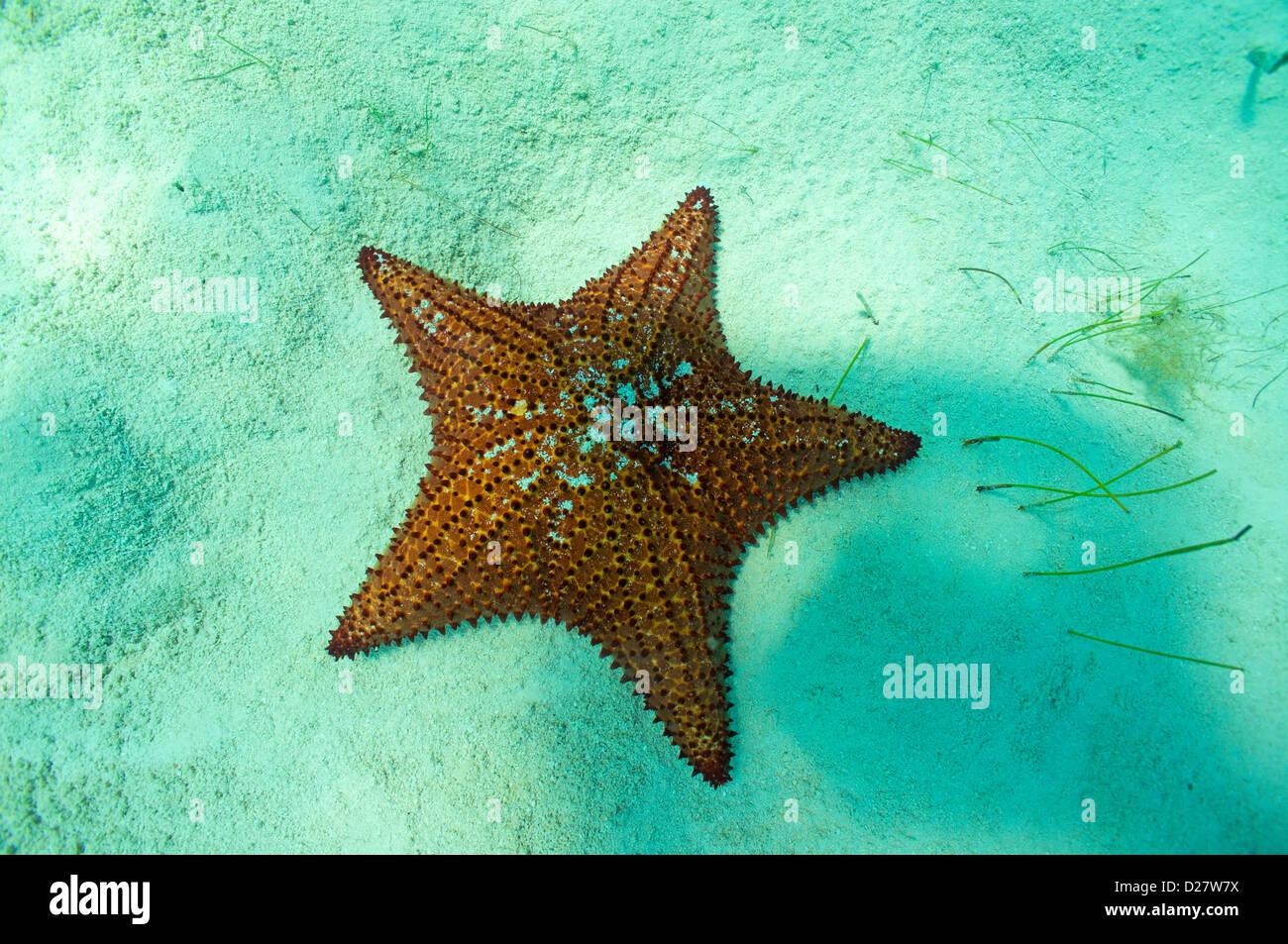 Starfish subacquea, Bayahibe Repubblica Dominicana Immagini Stock