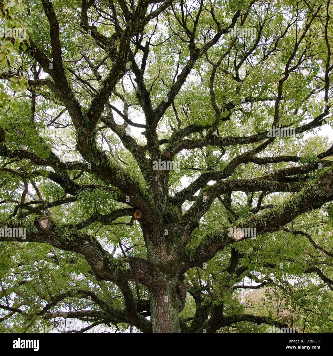 La corona dell'albero visto da sotto con il vecchio ampi rami e gli epifiti Immagini Stock