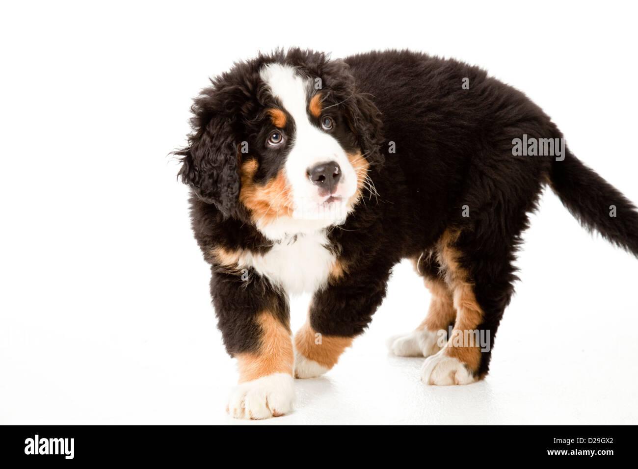 Dieci settimane vecchio Bovaro del Bernese cucciolo Immagini Stock