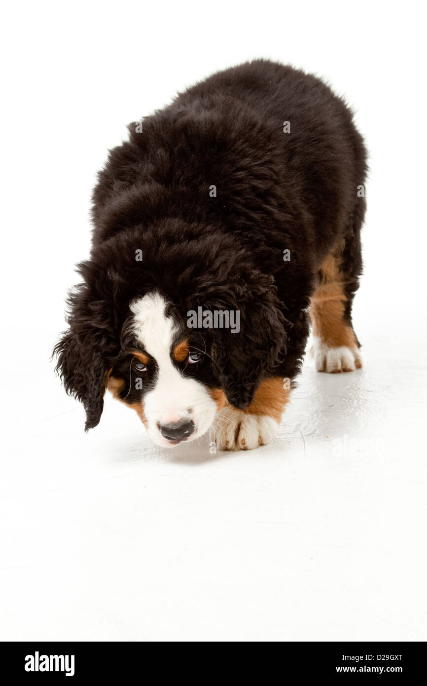 Dieci settimane vecchio Bovaro del Bernese cucciolo Foto Stock