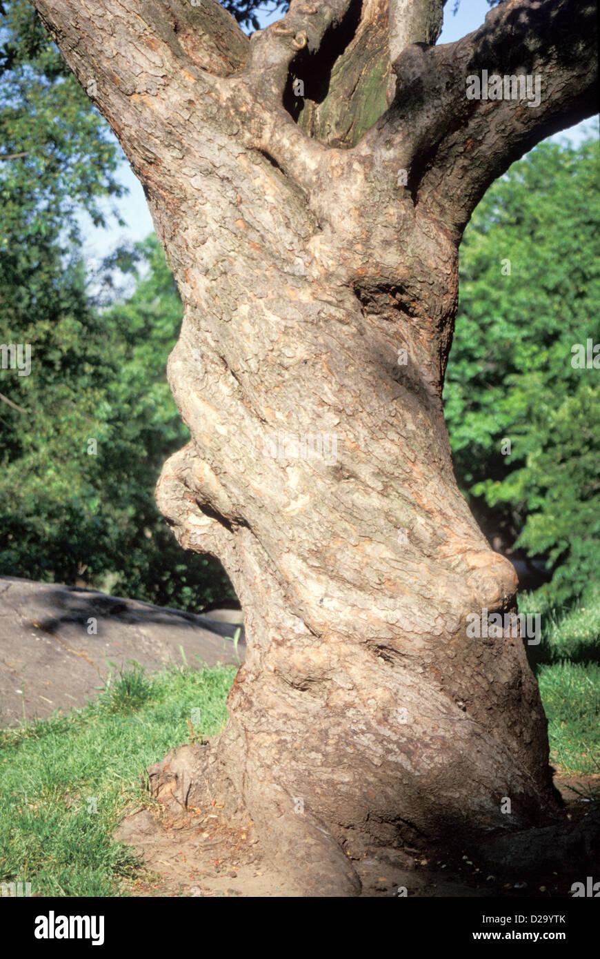 Albero con fusto ritorto, strozzatura orientale Cherry Immagini Stock