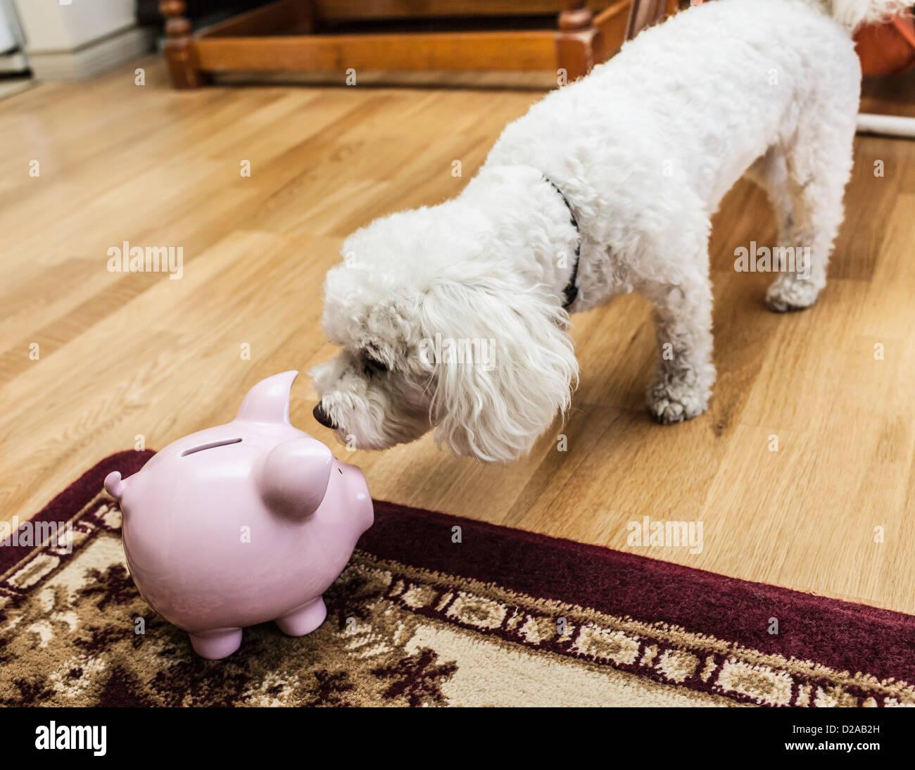 Esaminando il cane salvadanaio in salotto Immagini Stock