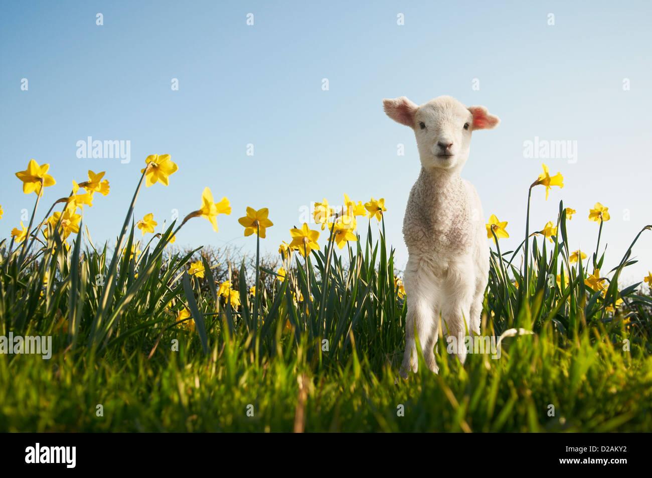 Agnello camminando nel campo dei fiori Foto Stock