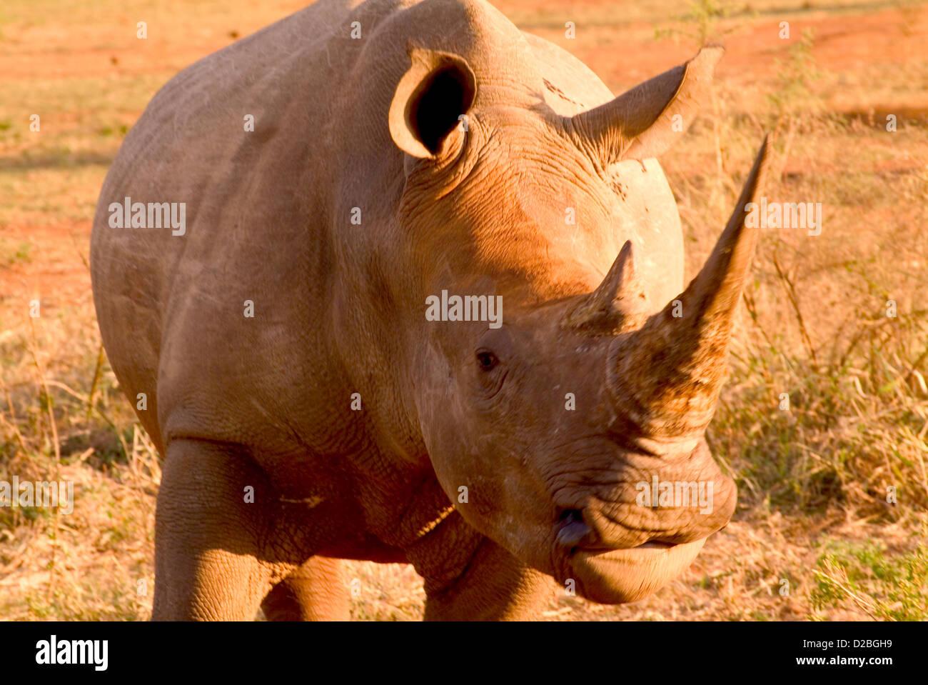 Sud Africa, Parco Nazionale Kruger. Raro rinoceronte bianco Immagini Stock