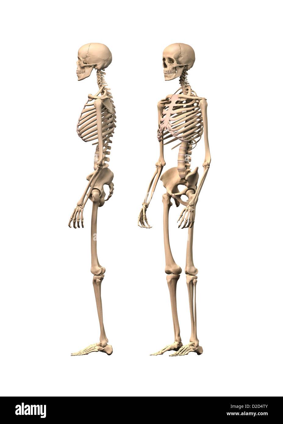 Scheletro umano illustrazione del computer Immagini Stock