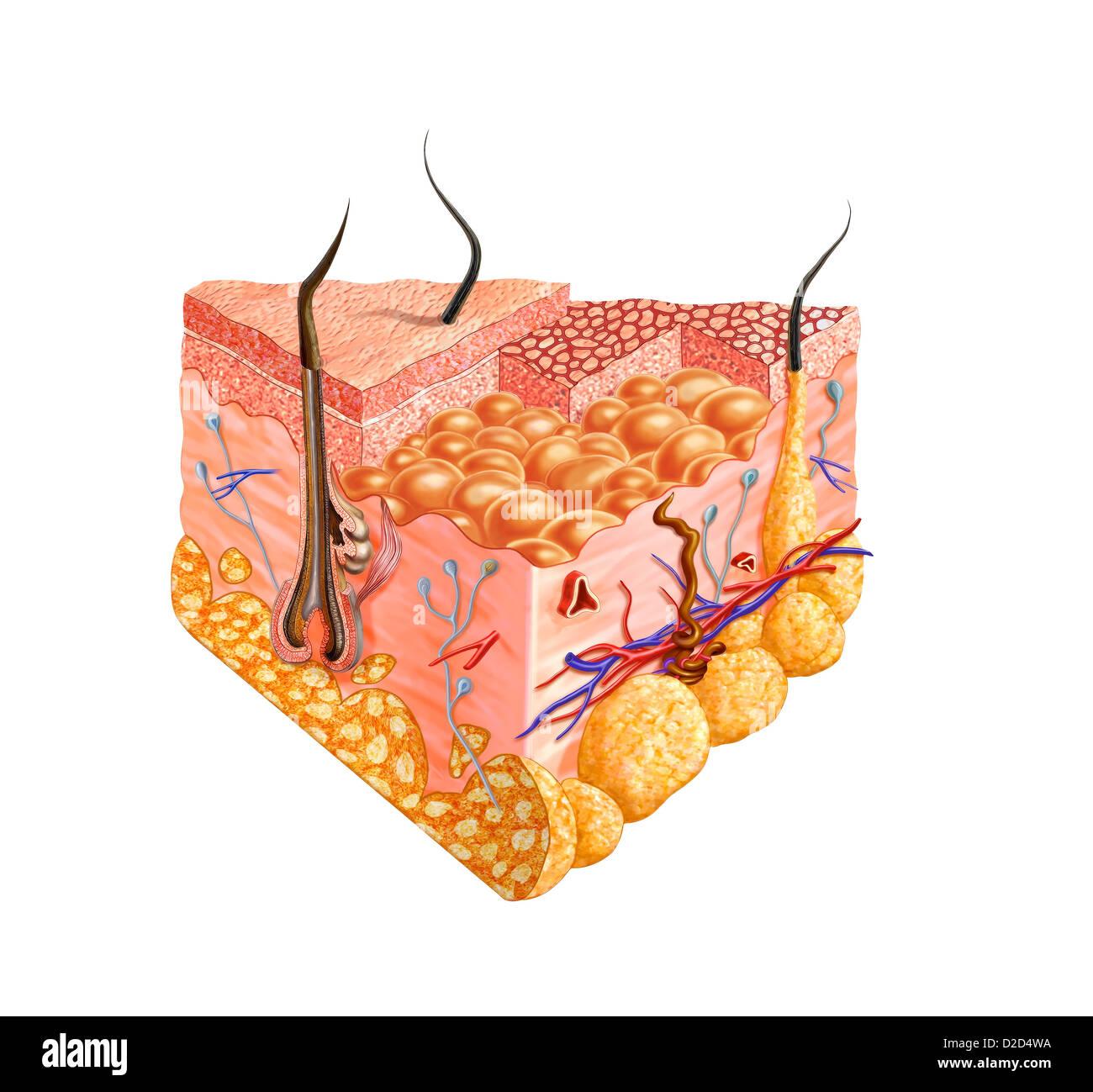 La pelle umana anatomia illustrazione del computer Immagini Stock